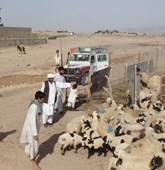 Ahmad with sheep, Afghanistan, HALO Trust