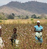 Cotton collection on the Mozambique Zimbabwe border, HALO Trust
