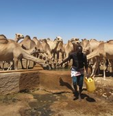 Camels drinking out of a waterhole in Somaliland, HALO Trust