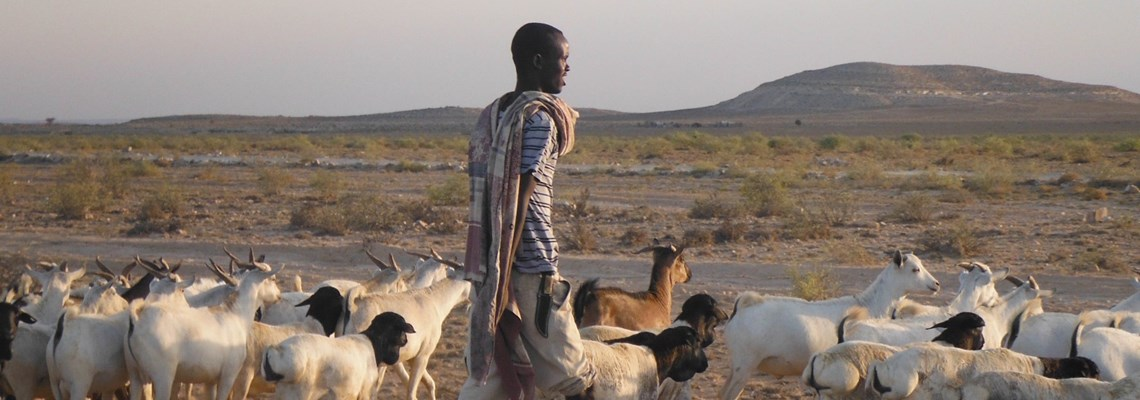 Man with sheep in Somliland, HALO Trust.
