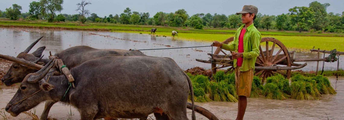 Beneficiary ploughing rice in paddy field, Cambodia, Halo Trust