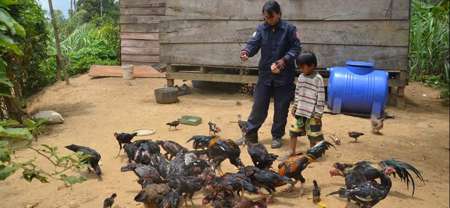 Raising chickens in Phnum Rai on land cleared by HALO