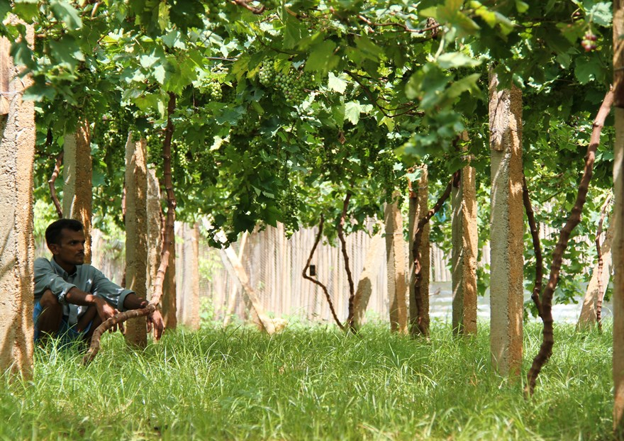 A beneficiary from Jaffna sitting in his vine yard.