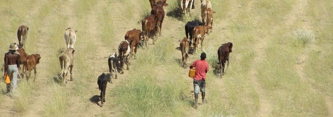 Local men herd cattle towards Kenengurere village