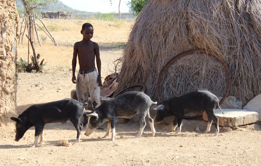 Child herding his pigs