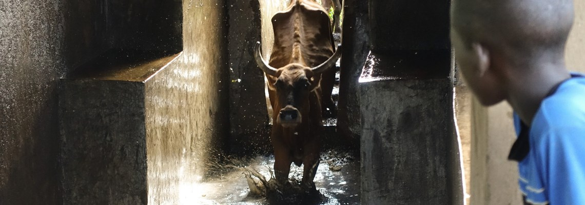 cattle dipping in Chivere, Zimbabwe